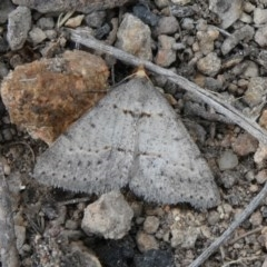 Taxeotis exsectaria (Ochre-headed Taxeotis) at Tuggeranong Hill - 12 Oct 2019 by Owen