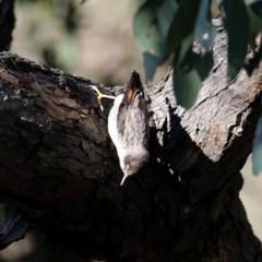 Daphoenositta chrysoptera (Varied Sittella) at Wandiyali-Environa Conservation Area - 12 Oct 2019 by Wandiyali