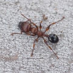 Podomyrma gratiosa (Muscleman tree ant) at Black Mountain - 12 Oct 2019 by David