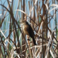 Acrocephalus australis (Australian Reed-Warbler) at Belconnen, ACT - 12 Oct 2019 by wombey