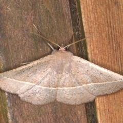 Idiodes apicata (Bracken Moth) at Rosedale, NSW - 9 Oct 2019 by jbromilow50