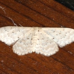 Idaea philocosma (Flecked Wave) at Rosedale, NSW - 9 Oct 2019 by jbromilow50