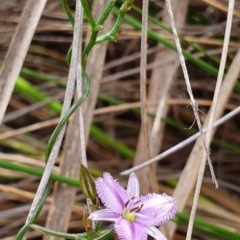 Thysanotus patersonii (Twining fringe lily) at Black Mountain - 13 Oct 2019 by AaronClausen