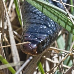 Pseudechis porphyriacus (Red-bellied Black Snake) at Jerrabomberra Wetlands - 12 Oct 2019 by Marthijn