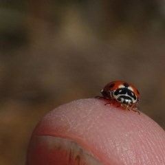 Hippodamia variegata (Spotted Amber Ladybird) at Brogo, NSW - 12 Oct 2019 by JackieMiles