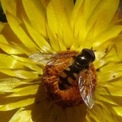 Melangyna sp. (Hover Fly) at Brogo, NSW - 12 Oct 2019 by JackieMiles