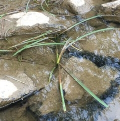 Cycnogeton sp. (Water Ribbons) at Molonglo Gorge - 13 Oct 2019 by JaneR