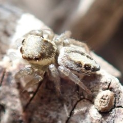 Salticidae (family) (Unidentified Jumping spider) at Spence, ACT - 13 Oct 2019 by Laserchemisty