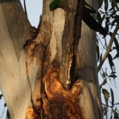 Alisterus scapularis (Australian King-Parrot) at Hughes Grassy Woodland - 13 Oct 2019 by LisaH
