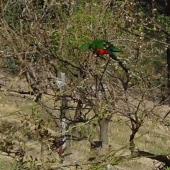 Alisterus scapularis (Australian King-parrot) at Brogo, NSW - 13 Oct 2019 by JackieMiles