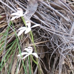 Caladenia sp. at Denman Prospect, ACT - 6 Oct 2019 by Jean