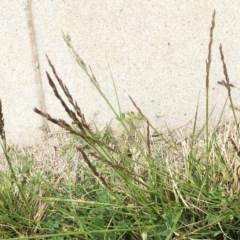 Festuca arundinacea (Tall Fescue) at Hughes, ACT - 13 Oct 2019 by ruthkerruish