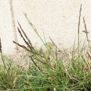 Festuca arundinacea at Hughes Garran Woodland - 14 Oct 2019
