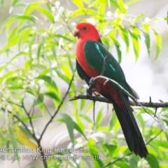 Alisterus scapularis (Australian King-parrot) at Burrill Lake, NSW - 14 Sep 2019 by Charles Dove