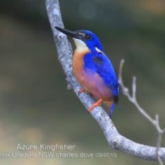 Ceyx azureus (Azure Kingfisher) at Ulladulla - Millards Creek - 19 Sep 2019 by CharlesDove