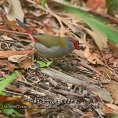 Neochmia temporalis (Red-browed Finch) at Ulladulla - Millards Creek - 19 Sep 2019 by Charles Dove