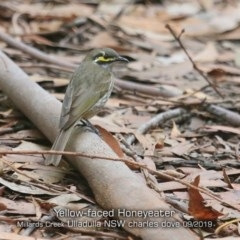 Caligavis chrysops (Yellow-faced Honeyeater) at Ulladulla - Millards Creek - 19 Sep 2019 by Charles Dove