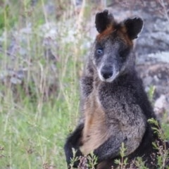 Wallabia bicolor (Swamp Wallaby) at Mcquoids Hill - 14 Oct 2019 by HelenCross
