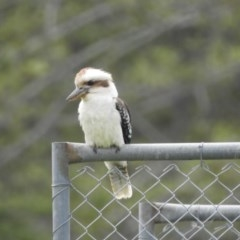 Dacelo novaeguineae (Laughing Kookaburra) at Berry, NSW - 13 Oct 2019 by Andrejs