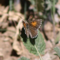 Lucia limbaria (Chequered Copper) at Deakin, ACT - 15 Oct 2019 by LisaH