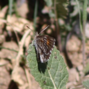 Lucia limbaria at Red Hill Nature Reserve - 15 Oct 2019