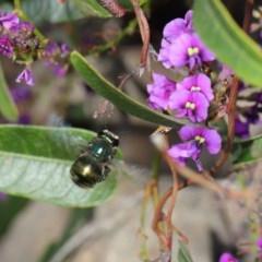 Xylocopa aeratus (Metallic Green Carpenter Bee) at ANBG - 15 Oct 2019 by TimL