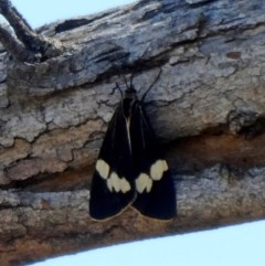 Nyctemera amicus (Senecio or Magpie moth) at Tuggeranong Hill - 15 Oct 2019 by Owen