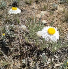Leucochrysum albicans subsp. albicans (Hoary Sunray) at Gungahlin, ACT - 15 Oct 2019 by EmmaCook