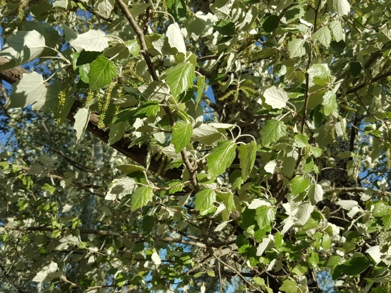 Populus alba at Lake Burley Griffin Central/East - 15 Oct 2019