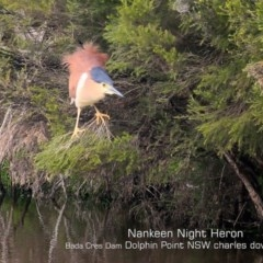 Nycticorax caledonicus (Nankeen Night-Heron) at Wairo Beach and Dolphin Point - 23 Sep 2019 by Charles Dove