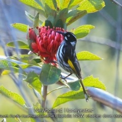 Phylidonyris novaehollandiae (New Holland Honeyeater) at South Pacific Heathland Reserve - 24 Sep 2019 by CharlesDove
