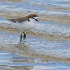 Charadrius ruficapillus (Red-capped Plover) at Cunjurong Point, NSW - 23 Sep 2019 by CharlesDove