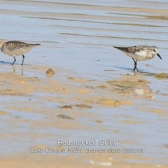 Calidris (Ereunetes) ruficollis (Red-necked Stint) at Cunjurong Point, NSW - 26 Sep 2019 by Charles Dove