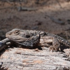 Pogona barbata (Eastern Bearded Dragon) at Hughes Grassy Woodland - 7 Oct 2019 by JackyF