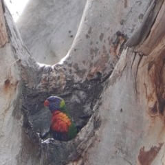 Trichoglossus moluccanus (Rainbow Lorikeet) at Red Hill Nature Reserve - 13 Oct 2019 by JackyF