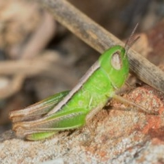 Praxibulus sp. (genus) (A grasshopper) at Percival Hill - 15 Oct 2019 by Harrisi