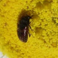 Dermestidae sp. (family) (Dermestid, carpet or hide beetles) at ANBG - 15 Oct 2019 by Christine