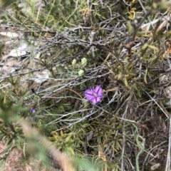 Thysanotus patersonii (Twining fringe lily) at Black Mountain - 5 Oct 2019 by JasonC