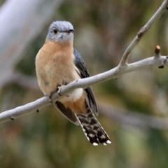 Cacomantis flabelliformis (Fan-tailed Cuckoo) at Namadgi National Park - 14 Oct 2019 by RodDeb