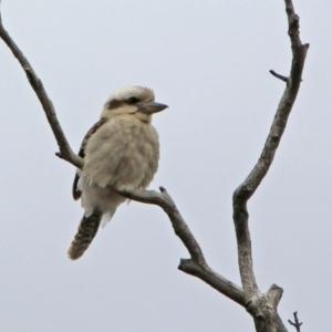 Dacelo novaeguineae at Namadgi National Park - 14 Oct 2019