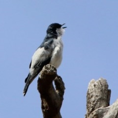 Lalage tricolor (White-winged Triller) at Namadgi National Park - 14 Oct 2019 by RodDeb