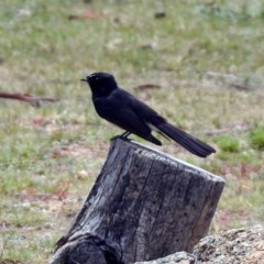 Rhipidura leucophrys (Willie Wagtail) at Namadgi National Park - 14 Oct 2019 by RodDeb