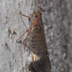 Cixiidae sp. (family) at Hackett, ACT - 14 Oct 2019