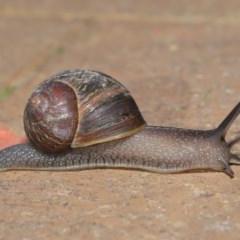 Cornu aspersum (Common Garden Snail) at Evatt, ACT - 16 Oct 2019 by Tim L