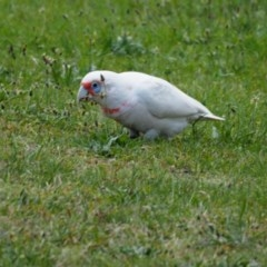 Cacatua tenuirostris (Long-billed Corella) at Belconnen, ACT - 17 Oct 2019 by wombey