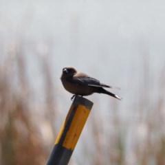 Artamus cyanopterus (Dusky Woodswallow) at Lake Ginninderra - 17 Oct 2019 by wombey
