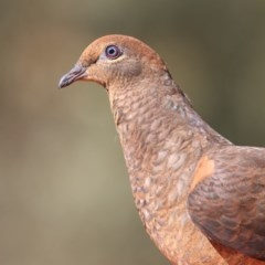 Macropygia (Macropygia) amboinensis (Brown Cuckoo-dove) at Merimbula, NSW - 16 Oct 2019 by Leo