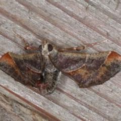 Gauna aegusalis (Rust Gall Moth) at Rosedale, NSW - 6 Oct 2019 by jbromilow50