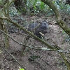 Vombatus ursinus (Bare-nosed Wombat) at Brogo, NSW - 16 Oct 2019 by JackieMiles