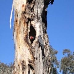 Callocephalon fimbriatum (Gang-gang Cockatoo) at Hughes Garran Woodland - 17 Oct 2019 by ruthkerruish